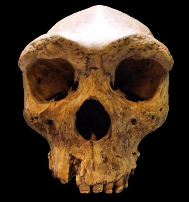 Replica of the Broken Hill skull, found in Zambia in 1921.
