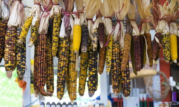 The intensification of corn impacted indigenous health, for better and for worse. Increased corn consumption often meant fewer micronutrients as corn replaced other foods in their diet.