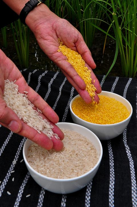 genetically modified golden rice pdf