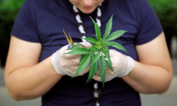 Woman examines cannabis leaves