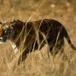 Tracking Rare Tigers With DNA From Poop feature image