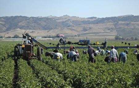 Farm workers harvest peppers near Gilroy, California.