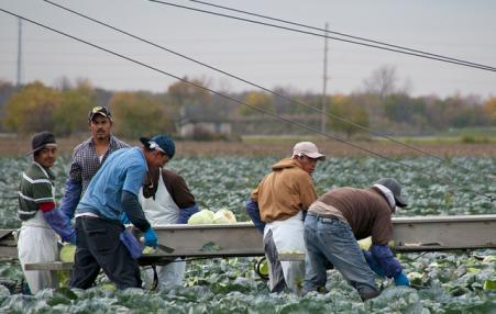 Migrant farmworkers picking cabbages in Ohio.